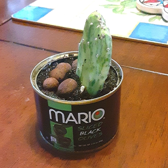 Varigated cactus cutting olive can
